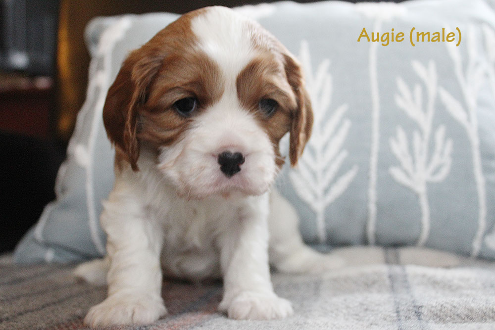 Augie (male)